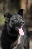 Black with a white spot purebred dog Royalty Free Stock Photography