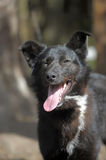 Black with a white spot purebred dog. Mongrel Stock Photo