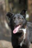 Black with a white spot purebred dog Stock Photo