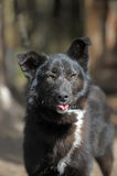 Black with a white spot purebred dog. Mongrel Royalty Free Stock Images