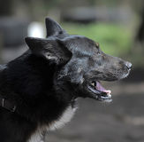 Black with a white spot purebred dog. Mongrel Royalty Free Stock Photography