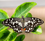 Black with white spots butterfly Royalty Free Stock Photography