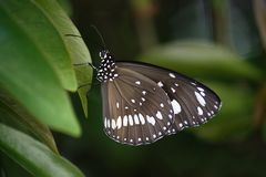 Black and White Spotted Butterfly on Green Leaf Stock Photography