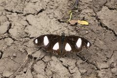 Black and white spotted Butterfly near Pune, Maharashtra, India.  royalty free stock images