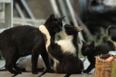 Black and white spotted cat licking her black kittens near a wicker basket. royalty free stock photos