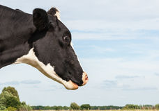 Black and white spotted cow from close Stock Images