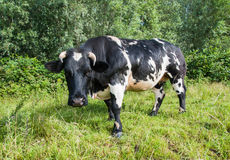 Black and white spotted cow is looking curiously Royalty Free Stock Image