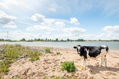 Black and white spotted cow on the riverside. Black-and-white young cow stands, curiously looking at the photographer, on the sandy beach at the bank of the royalty free stock photography