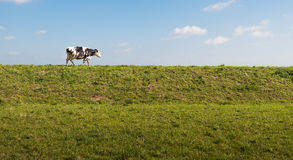 Black and white spotted cow on top of a dike Stock Photography