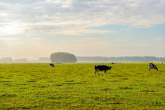 Black and white spotted cow walking in a large meadow Royalty Free Stock Photography