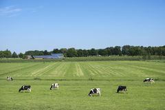 Black and white spotted cows in green grassy meadow with solar panels covered farm and blue sky. On sunny day in the netherlands royalty free stock image