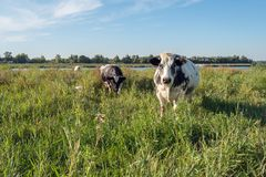 Black white spotted cows in a landscape with tall grass. Black and white spotted cows in the foreground of a landscape with high grown grass and wild plants. In Stock Photo