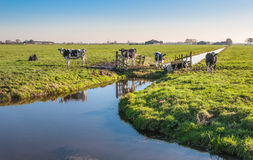 Black and white spotted cows in the Netherlands. Black and white cows in a Dutch polder landscape with a ditch and a wooden fence Stock Photos