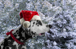 Black and white spotted dog breed Dalmatian in a Santa Claus hat Stock Images
