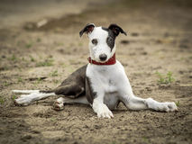 Black and white spotted dog on the ground Royalty Free Stock Photo