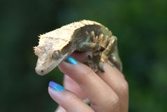 Gecko Portrait. Black & white spotted Gecko help by hand with nail art royalty free stock photo