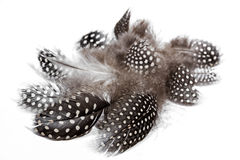 Black White spotted Guine Fowl Feathers on White Royalty Free Stock Image