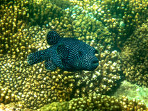 Black and White Spotted Guinea Puffer Fish in Sea of Cortez. Black and white spotted Guinea puffer fish swimming near coral reef in Sea of Cortez, Mexico Stock Photography
