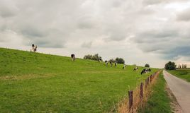 Black and white cows on the slope of a. Black and white spotted Holstein cows graze on the slope of a Dutch dike. It is a very cloudy day in the summer season royalty free stock photo