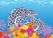 Black and white spotted moray. A moray eel swimming in blue water over colorful corals in a tropical sea, a vector illustration in cartoon style Stock Images