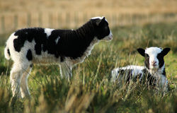 Black and white spring lambs. Two black and white spring lambs in a grassy field stock photography