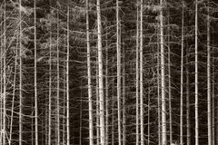 Black and white spruces. Background. Very graphic royalty free stock photography