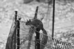 Black and white Squirrel stock image