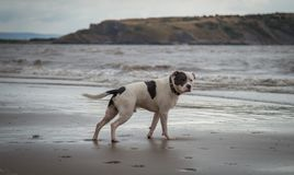 Staffordshire bull terrier dog looking in the sea at Weston Super mare stock photo