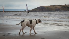 Staffordshire bull terrier dog in the sea at Weston Super mare stock images