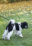 Black and White Standard Poodle Puppy Stock Photo