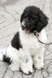 Black and White Standard Poodle Puppy Royalty Free Stock Photography