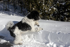Black and White Standard Poodle in Snowbank. A nine-month-old Parti Poodle puppy is eager to explore a deep snow bank during his first winter Stock Images