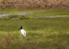 Black and White Stork. Large stork standing in a field Stock Image