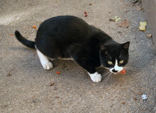 Black and white stray cat eats on asphalt Stock Photos