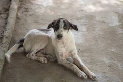 Black and white Stray thin dogs in thailand royalty free stock images