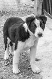 Black and white street dog looking streight into the camera Stock Photography