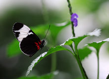 The black white stripe butterfly sitting on green leave. Macro shot Royalty Free Stock Images