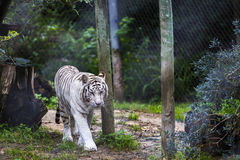 Black and White Striped Adult Tiger. Rare Black and White Striped Adult Tiger stock image
