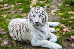 Black and White Striped Adult Tiger. Rare Black and White Striped Adult Tiger stock photography