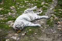 Black and White Striped Adult Tiger. Rare Black and White Striped Adult Tiger royalty free stock photo