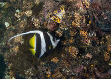 Bannerfish and barrel sponge on wall reer reef Stock Photos