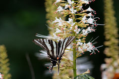 Black and white striped butterfly Royalty Free Stock Photography