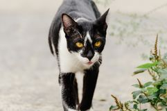 Black and white striped cat is looking something to eat in the morning. Black and white striped cat is looking something to eat in the summer morning stock image
