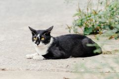 Black and white striped cat is looking something to eat in the morning. Black and white striped cat is looking something to eat in the summer morning royalty free stock images