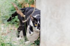 Black and white striped cat is looking something to eat in the morning. Black and white striped cat is looking something to eat in the summer morning royalty free stock photo