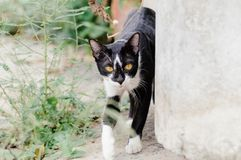 Black and white striped cat is looking something to eat in the morning. Black and white striped cat is looking something to eat in the summer morning royalty free stock photos