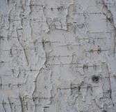 Black-white striped and cracked natural texture of russian birch bark stock photo