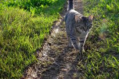 Pussycat with tiger face. Black and white striped pussycat in her afternoon promenade. She is on the path surrounded by fresh grass stock image
