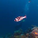 Black and white striped small fish and scuba diver. Ari-Atoll. Maldives Stock Photography
