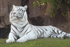 Black and White Striped Tiger. Rare Black and White Striped Adult Tiger stock photo